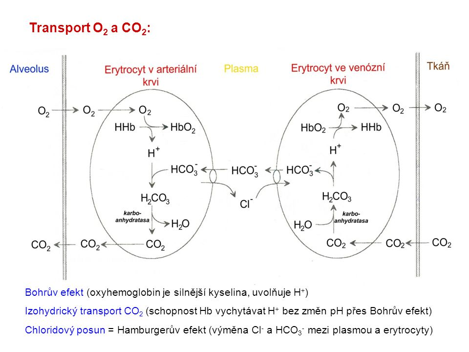 Transport O2 a CO2: Bohrův efekt (oxyhemoglobin je silnější kyselina, uvolňuje H+)