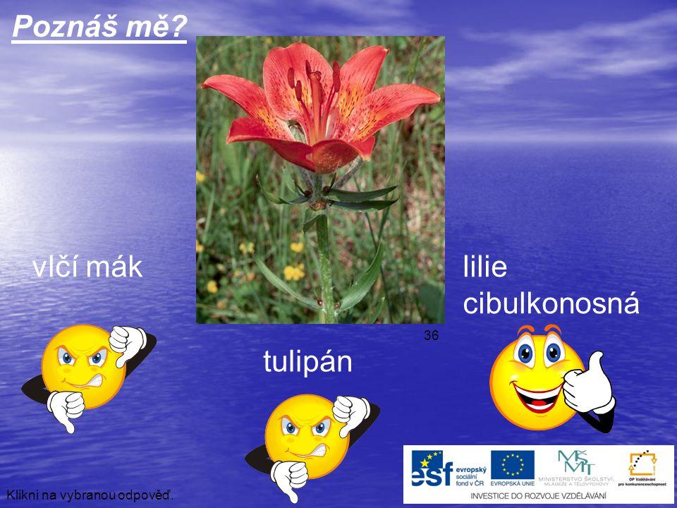 Poznáš mě vlčí mák lilie cibulkonosná tulipán 36