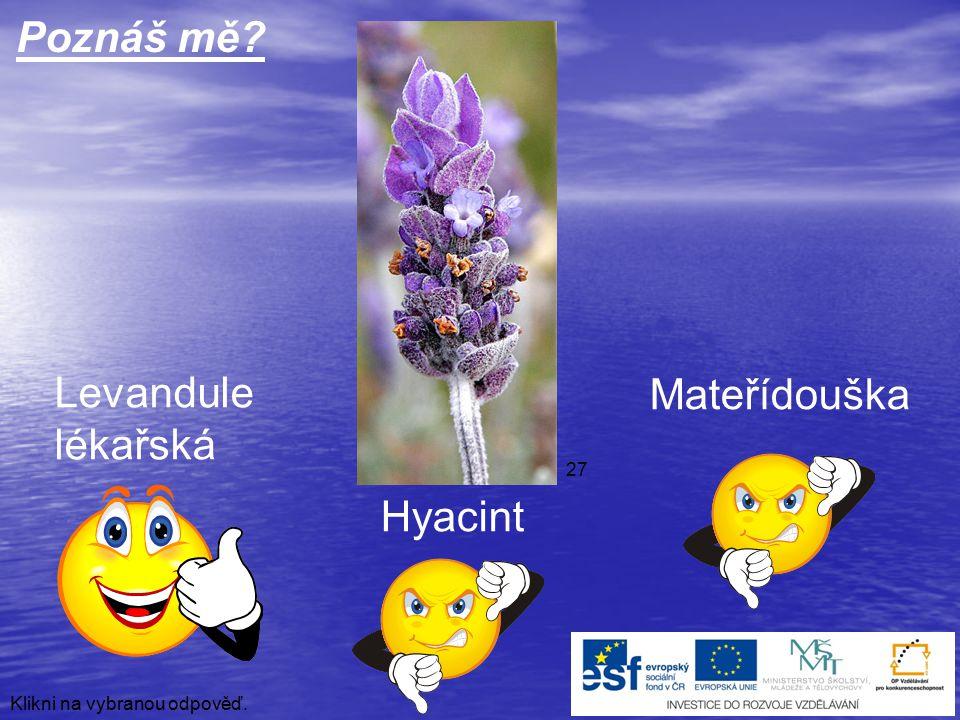 Poznáš mě Levandule Mateřídouška lékařská Hyacint 27