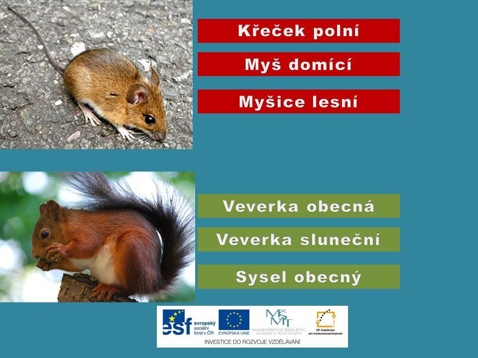 Křeček polní Myš domící Myšice lesní Veverka obecná Veverka sluneční Sysel obecný
