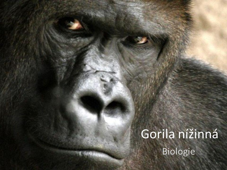 Gorila nížinná Biologie