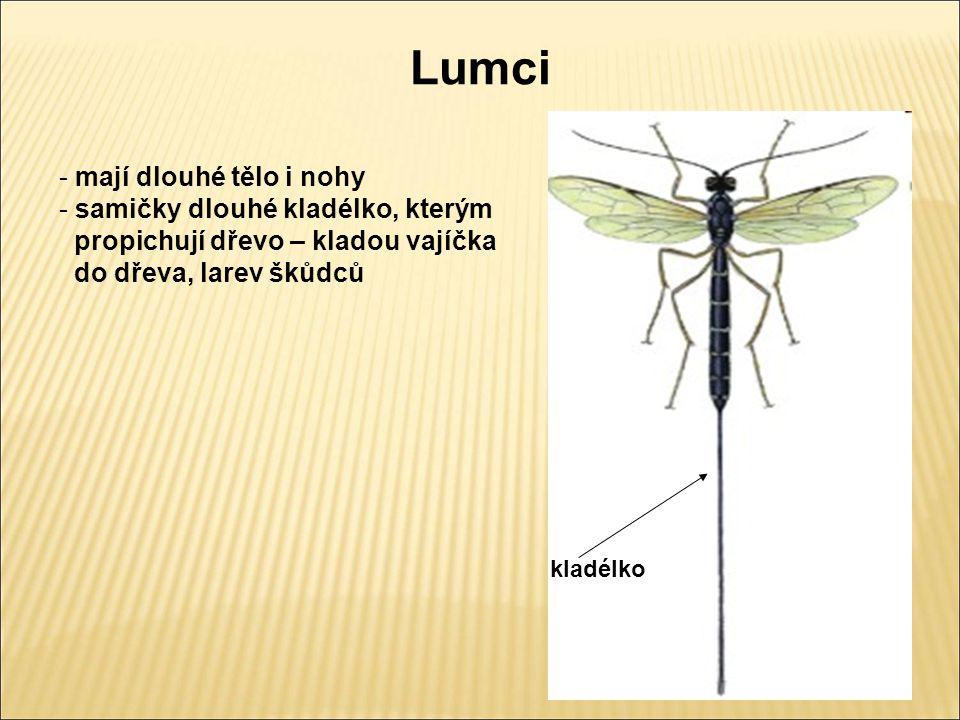 Lumci mají dlouhé tělo i nohy samičky dlouhé kladélko, kterým