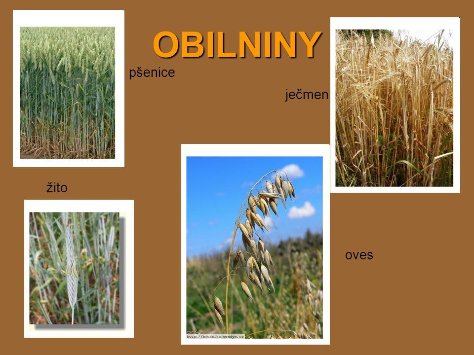 OBILNINY pšenice ječmen žito oves