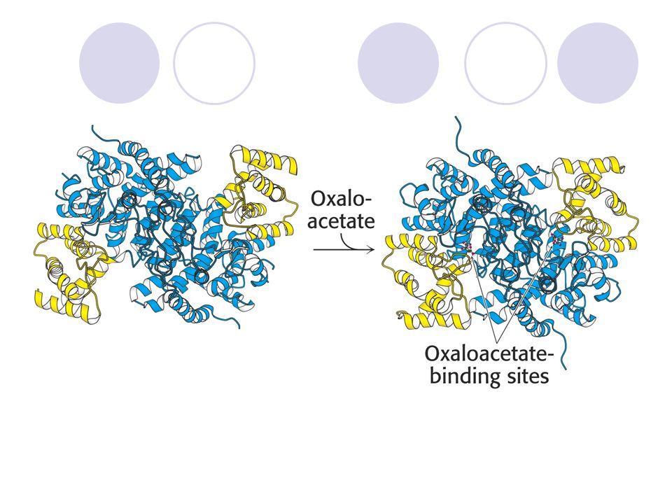 Konformační změny citrátsynthasy po vazbě oxaloacetátu