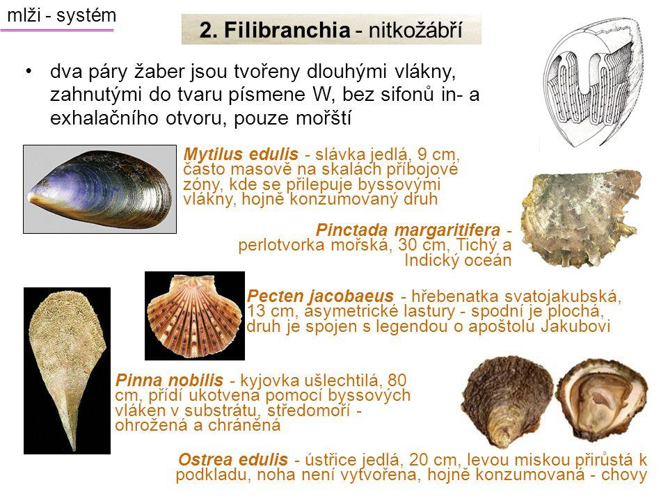 2. Filibranchia - nitkožábří
