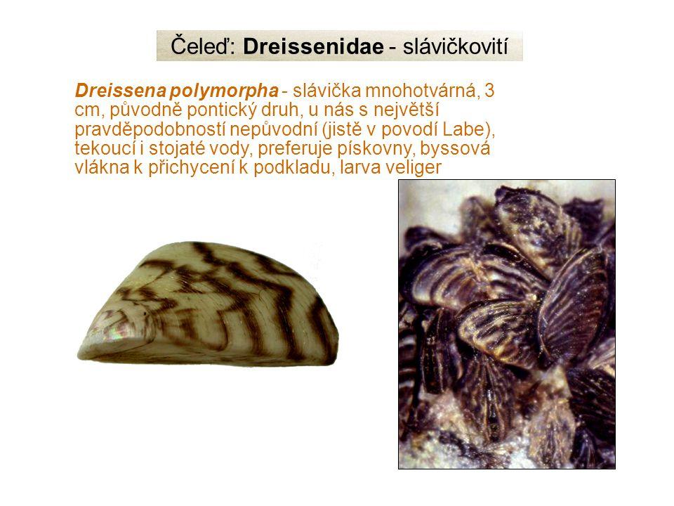 Čeleď: Dreissenidae - slávičkovití