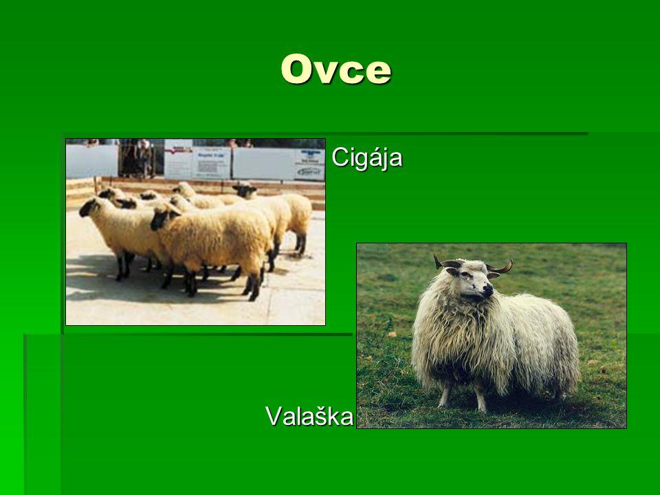 Ovce Cigája Valaška