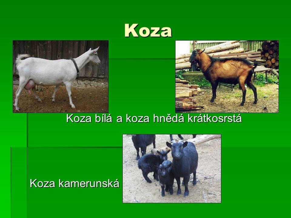 Koza bílá a koza hnědá krátkosrstá