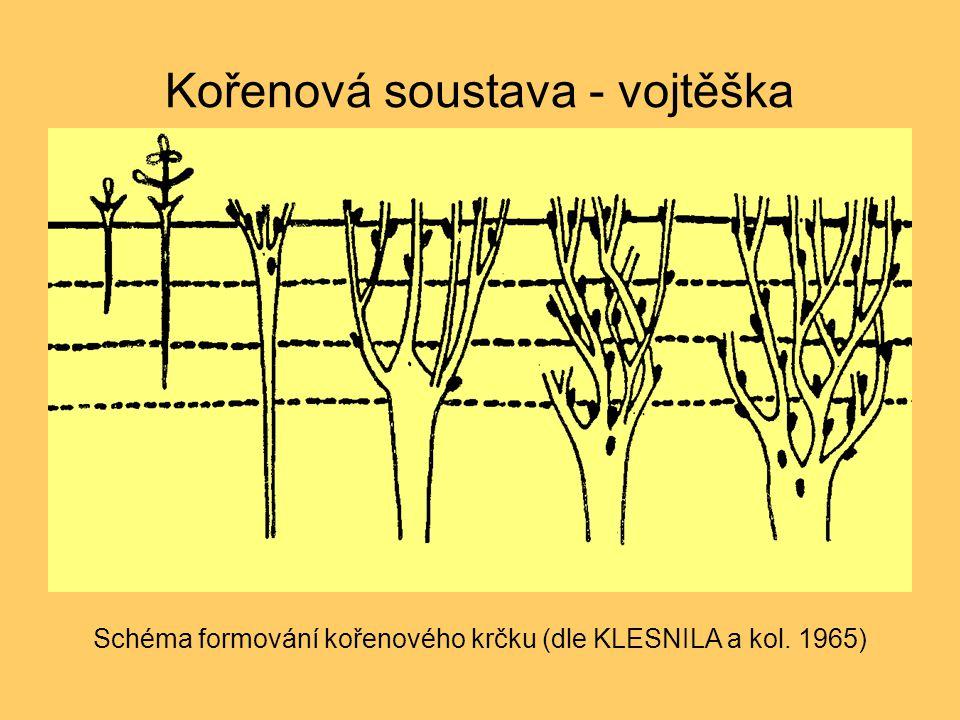 Kořenová soustava - vojtěška