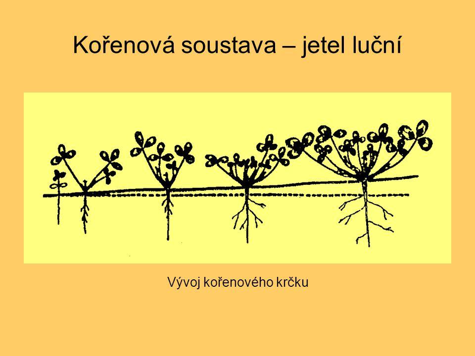Kořenová soustava – jetel luční