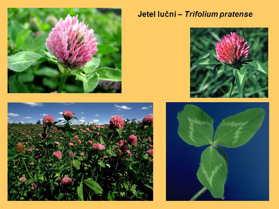 Jetel luční – Trifolium pratense
