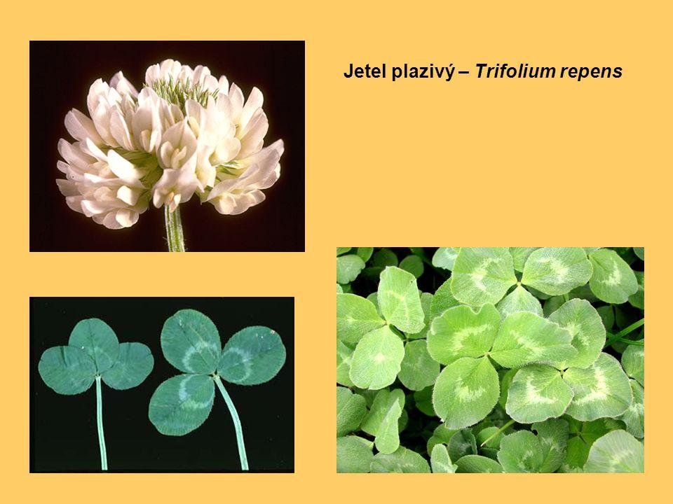 Jetel plazivý – Trifolium repens