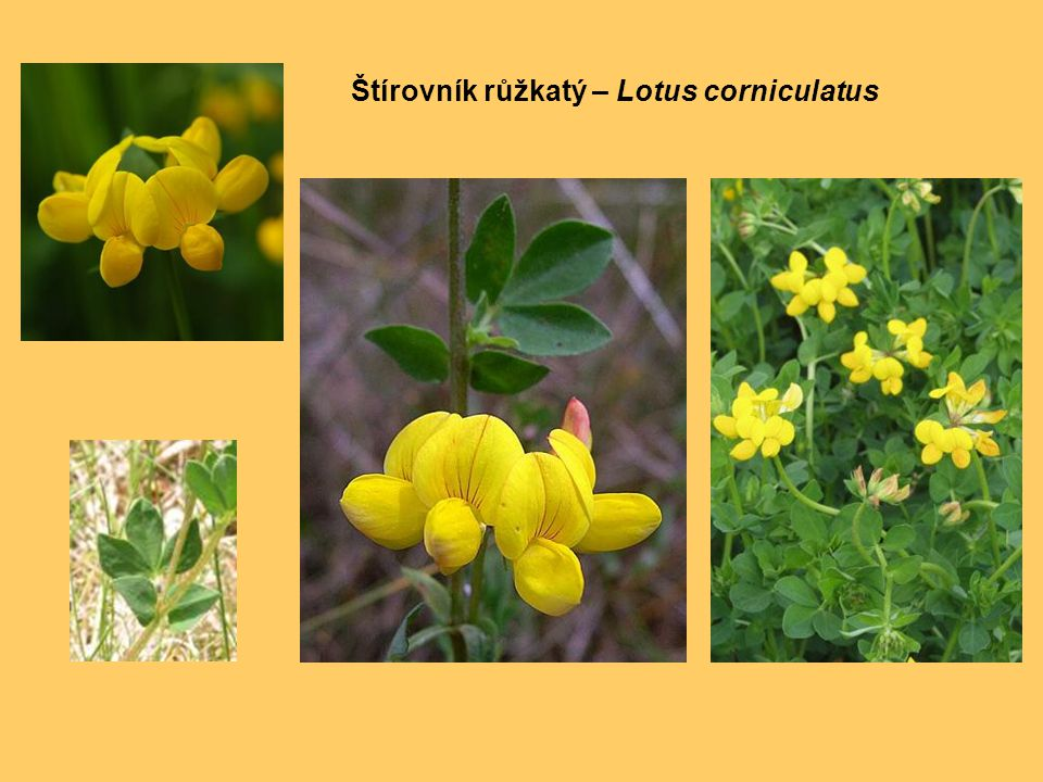 Štírovník růžkatý – Lotus corniculatus