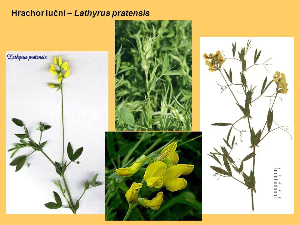 Hrachor luční – Lathyrus pratensis