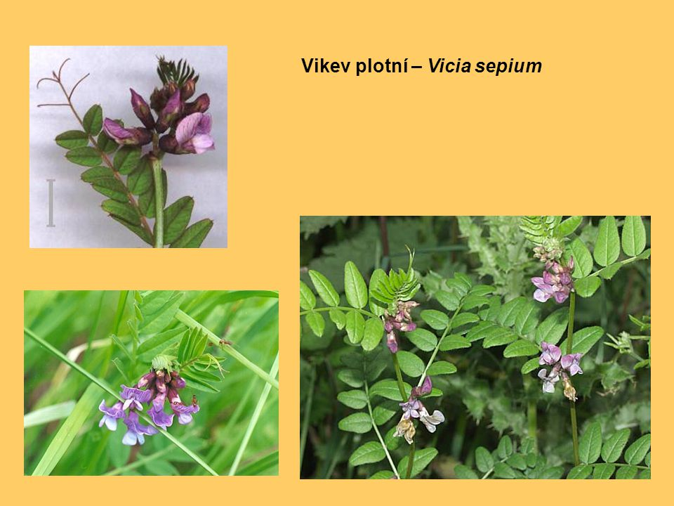 Vikev plotní – Vicia sepium