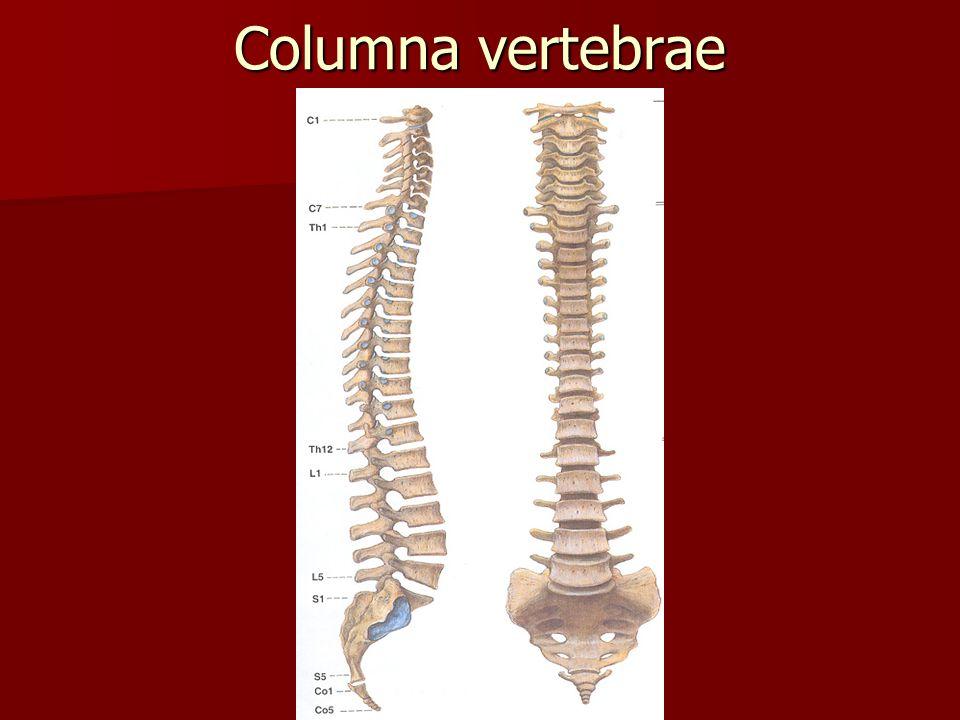 Columna vertebrae