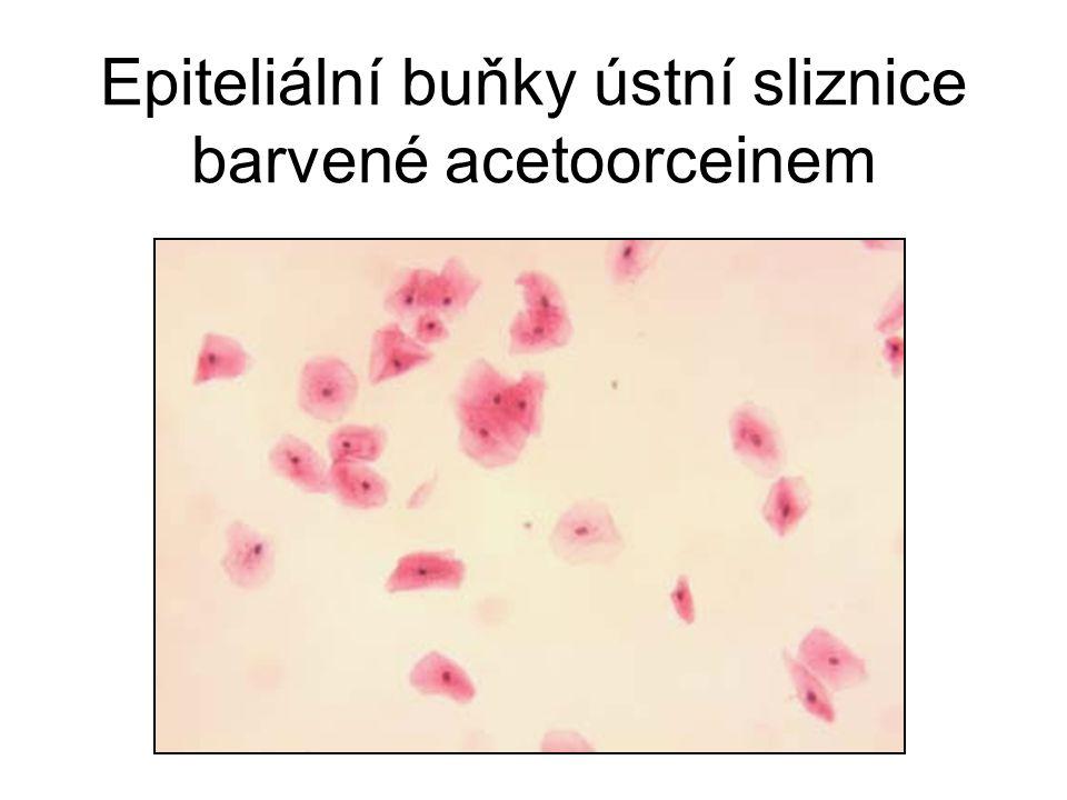 Epiteliální buňky ústní sliznice barvené acetoorceinem
