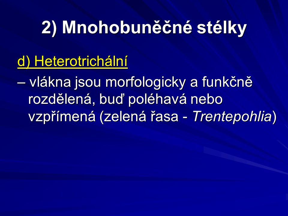 2) Mnohobuněčné stélky d) Heterotrichální