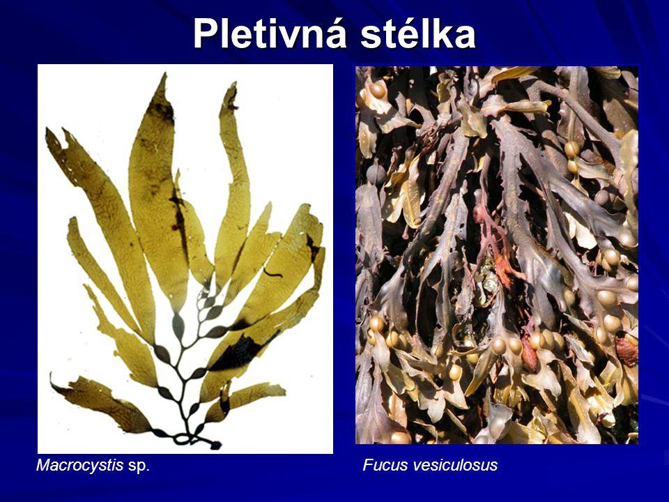 Pletivná stélka Macrocystis sp. Fucus vesiculosus