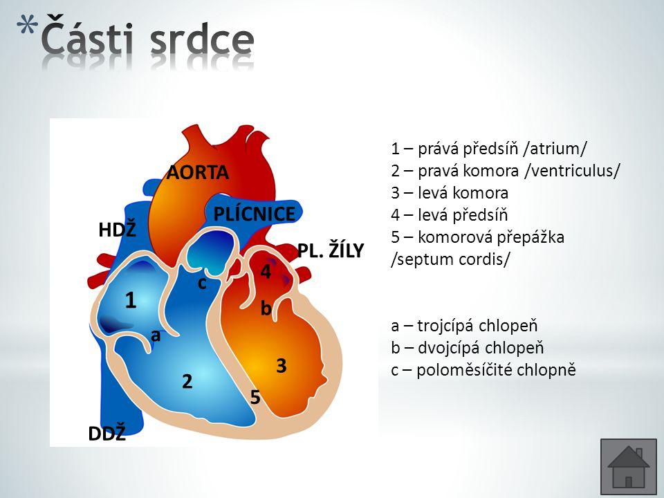 Části srdce 1 AORTA PLÍCNICE HDŽ PL. ŽÍLY 4 c b a 3 2 5 DDŽ