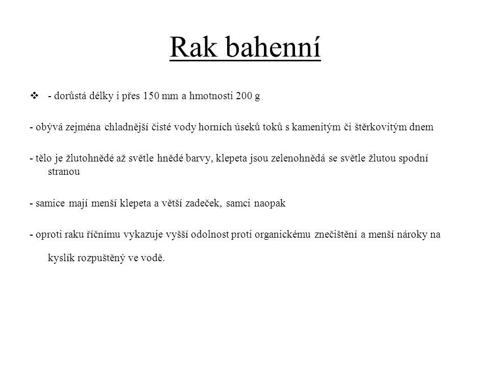 Rak bahenní - dorůstá délky i přes 150 mm a hmotnosti 200 g