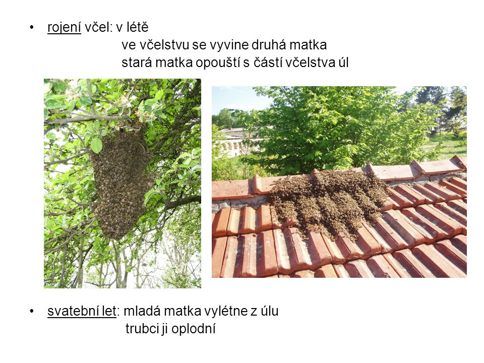 rojení včel: v létě ve včelstvu se vyvine druhá matka. stará matka opouští s částí včelstva úl. svatební let: mladá matka vylétne z úlu.