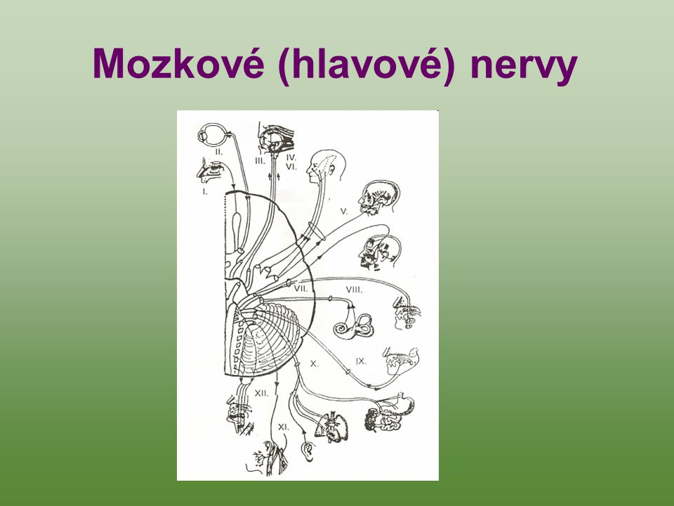 Mozkové (hlavové) nervy