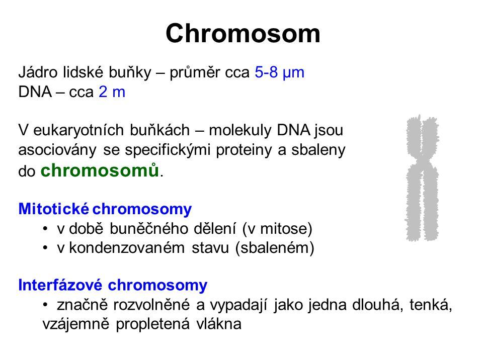 Chromosom Jádro lidské buňky – průměr cca 5-8 μm DNA – cca 2 m