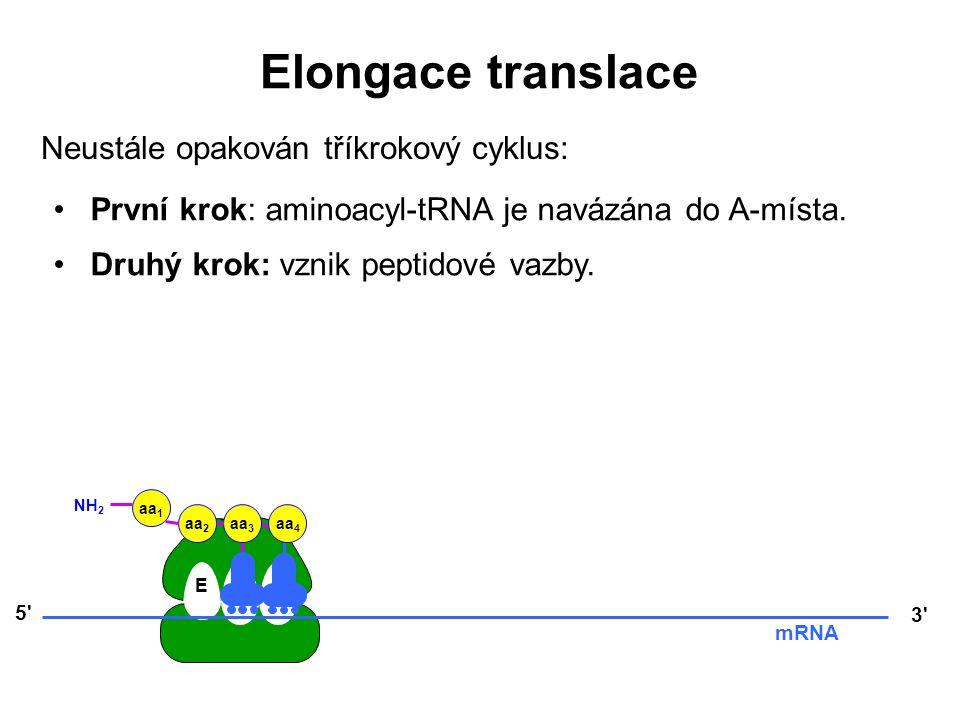 Elongace translace Neustále opakován tříkrokový cyklus: