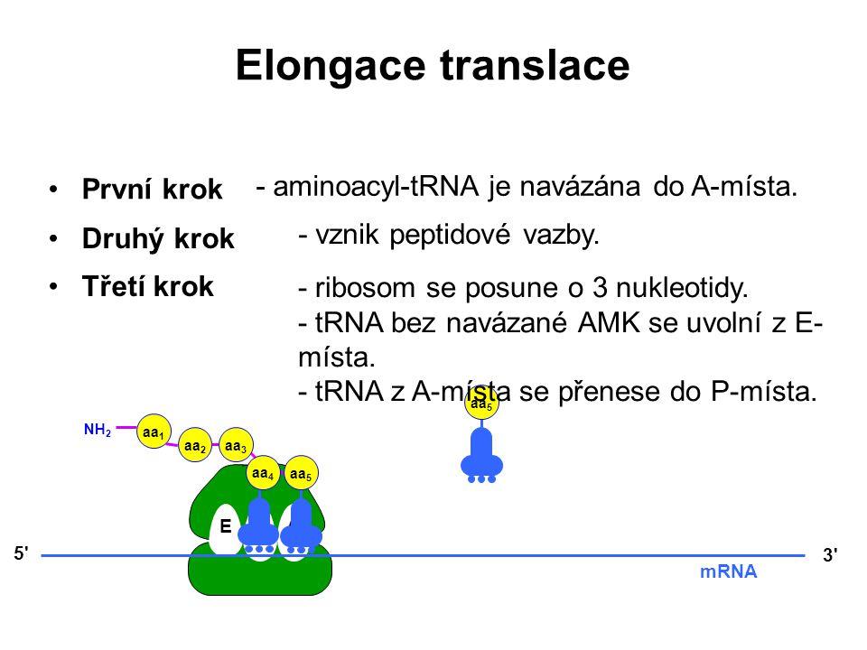 Elongace translace První krok - aminoacyl-tRNA je navázána do A-místa.