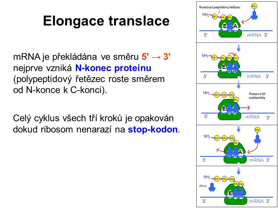 Elongace translace mRNA je překládána ve směru 5 → 3