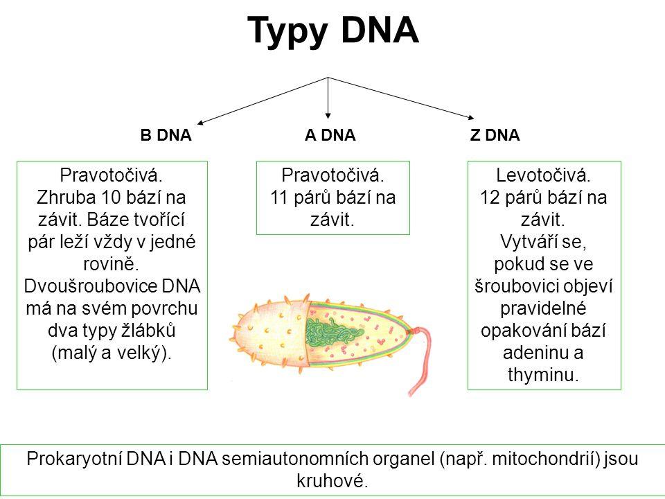 Typy DNA B DNA. A DNA. Z DNA. Pravotočivá.