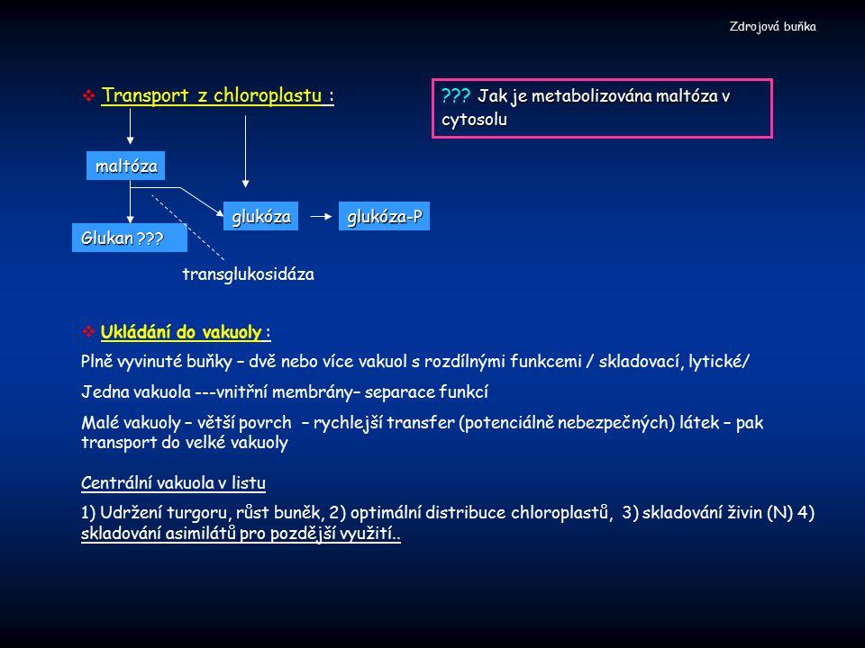 Jak je metabolizována maltóza v cytosolu