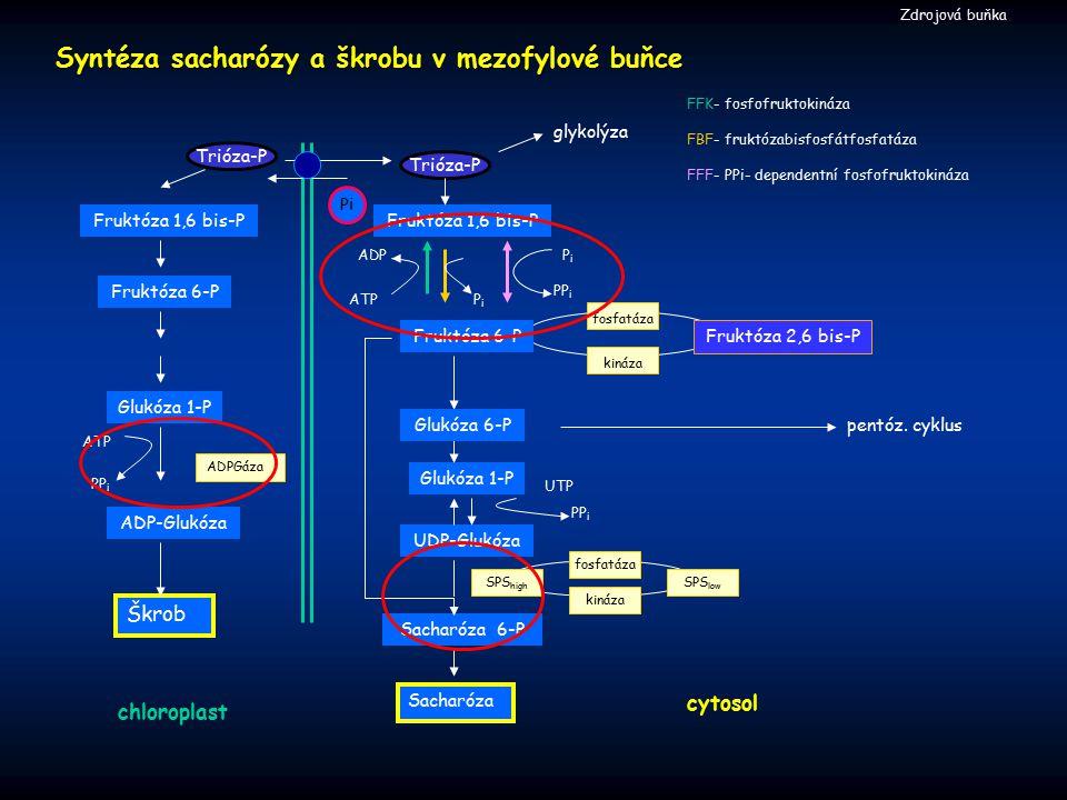Syntéza sacharózy a škrobu v mezofylové buňce