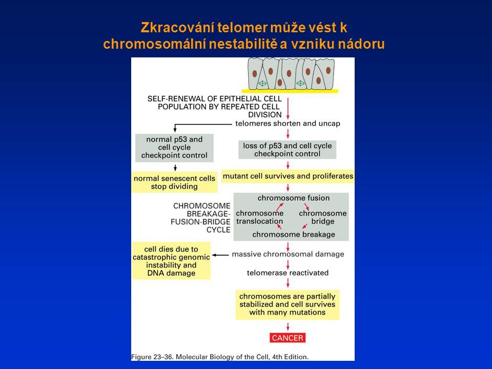 Zkracování telomer může vést k chromosomální nestabilitě a vzniku nádoru