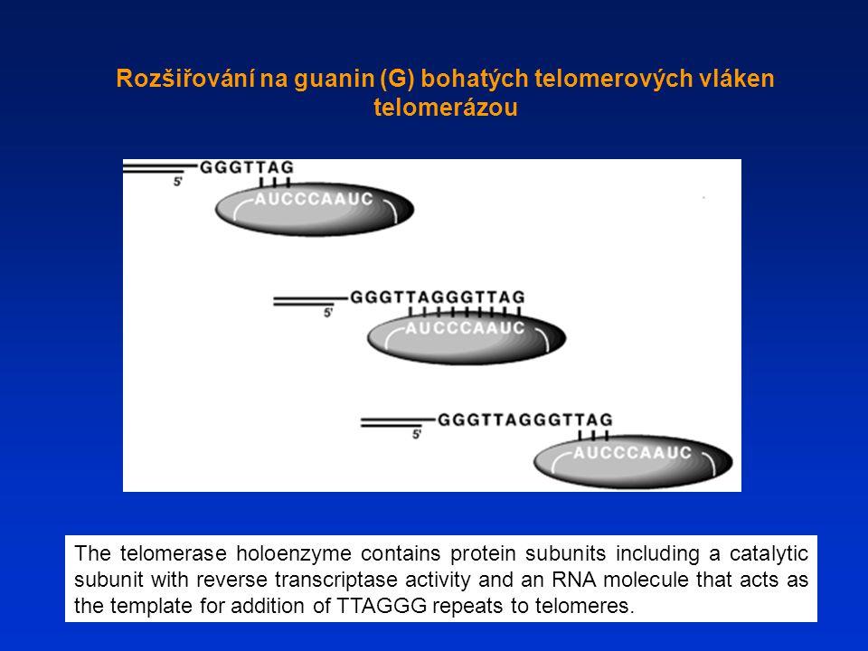Rozšiřování na guanin (G) bohatých telomerových vláken telomerázou