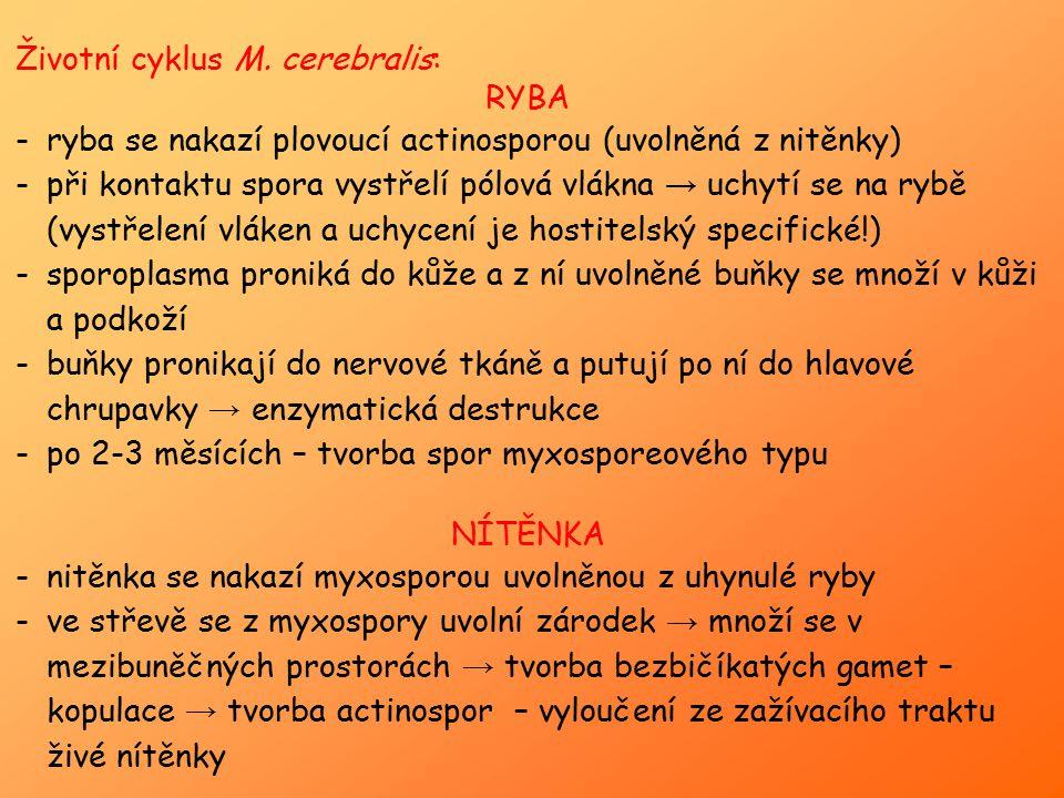 Životní cyklus M. cerebralis: