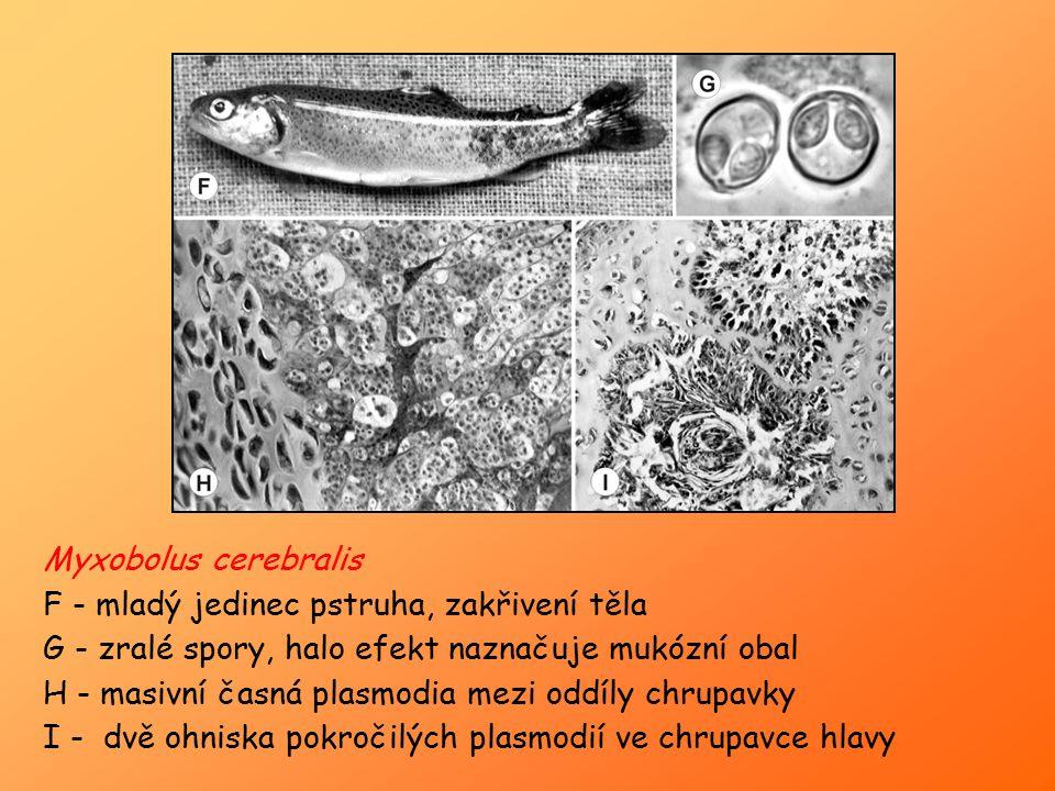Myxobolus cerebralis F - mladý jedinec pstruha, zakřivení těla. G - zralé spory, halo efekt naznačuje mukózní obal.