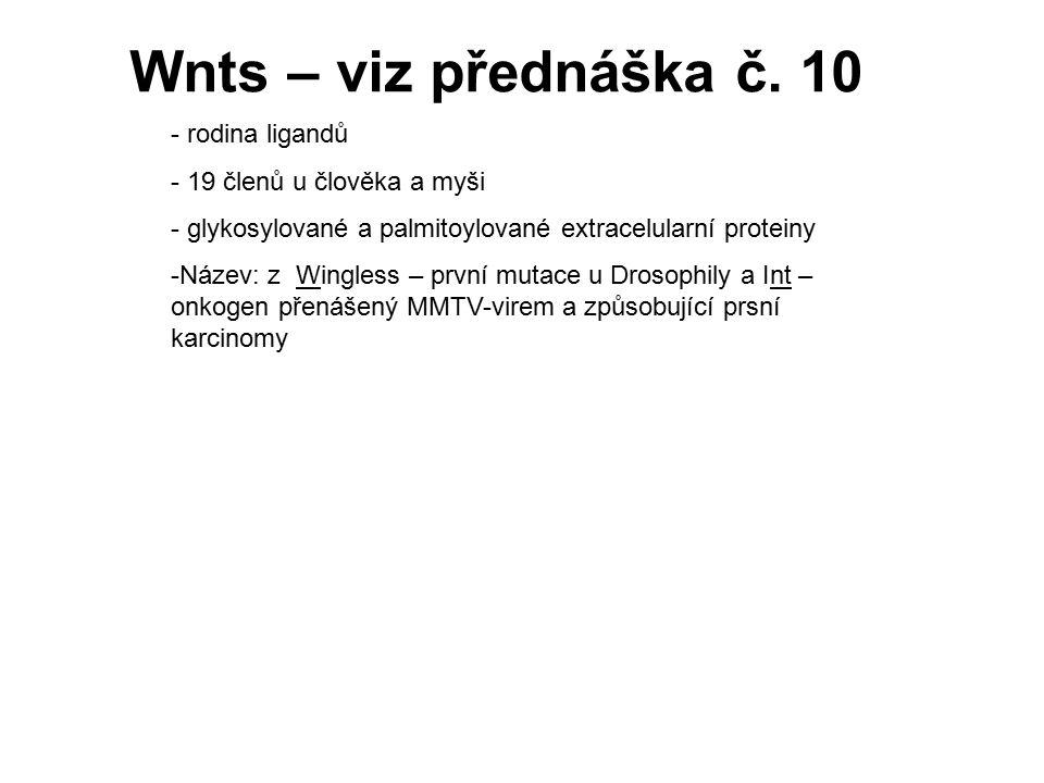 Wnts – viz přednáška č. 10 rodina ligandů 19 členů u člověka a myši