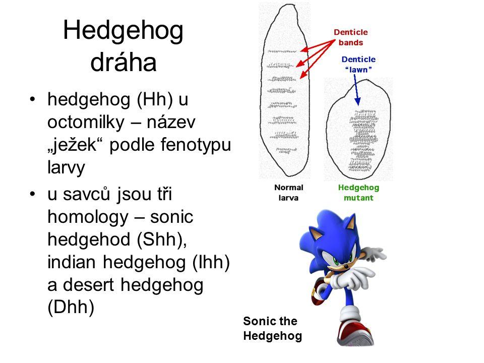 """Hedgehog dráha hedgehog (Hh) u octomilky – název """"ježek podle fenotypu larvy."""