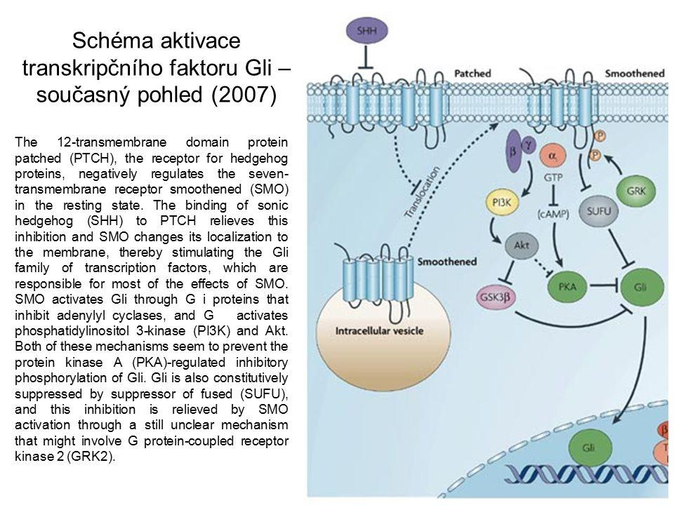 Schéma aktivace transkripčního faktoru Gli – současný pohled (2007)