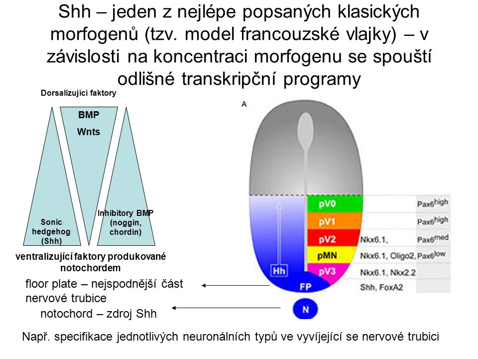 Shh – jeden z nejlépe popsaných klasických morfogenů (tzv