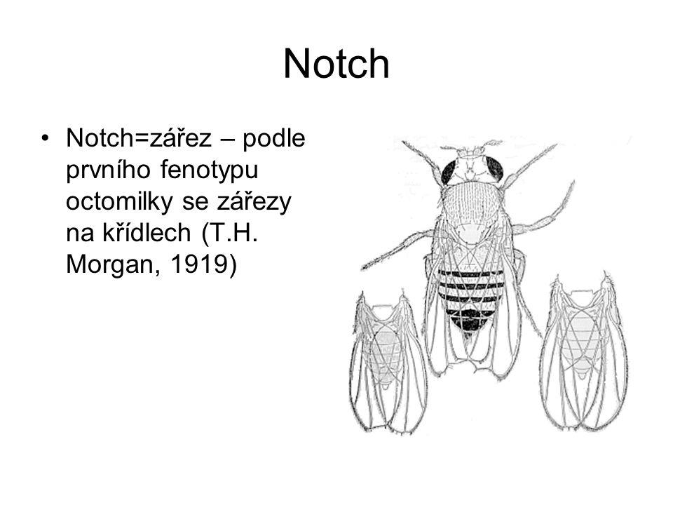 Notch Notch=zářez – podle prvního fenotypu octomilky se zářezy na křídlech (T.H. Morgan, 1919)