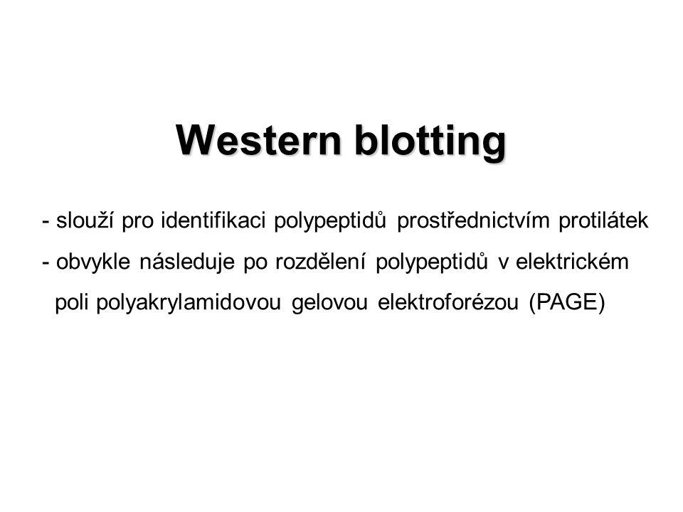 Western blotting slouží pro identifikaci polypeptidů prostřednictvím protilátek. obvykle následuje po rozdělení polypeptidů v elektrickém.