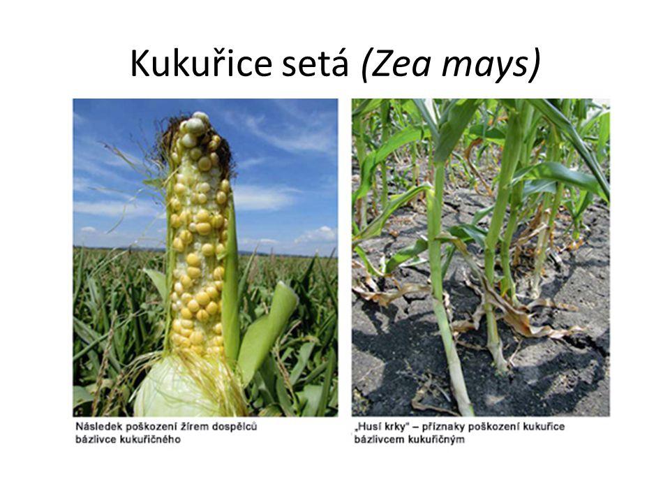 Kukuřice setá (Zea mays)