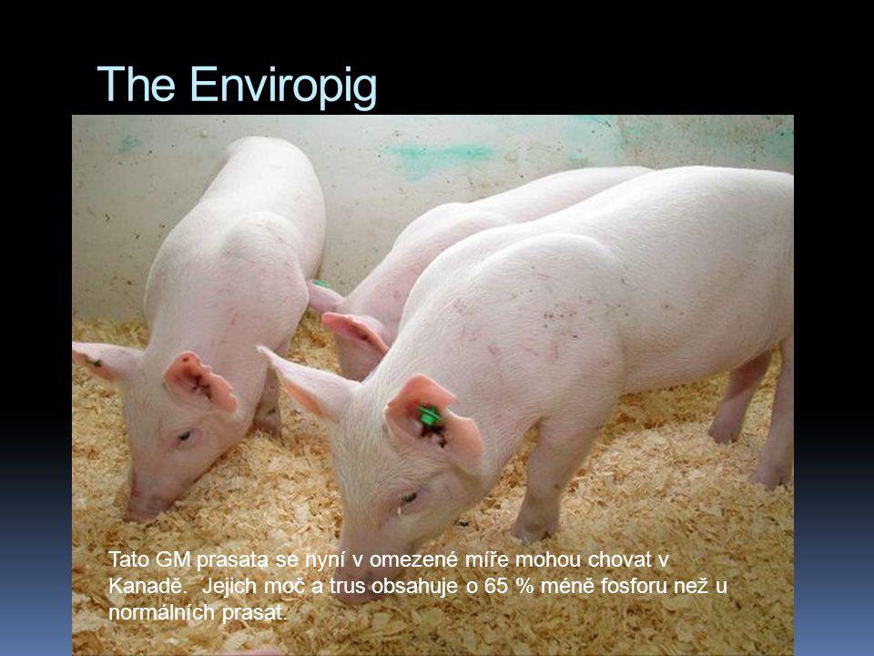 The Enviropig Tato GM prasata se nyní v omezené míře mohou chovat v Kanadě.