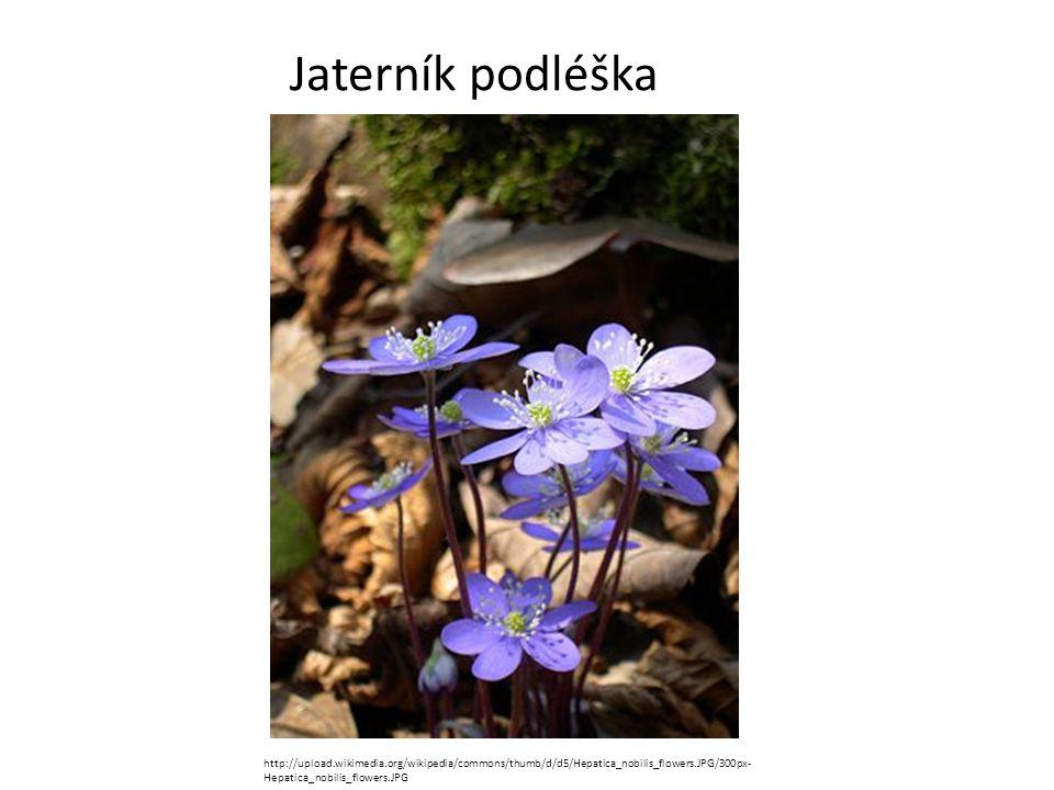 Jaterník podléška http://upload.wikimedia.org/wikipedia/commons/thumb/d/d5/Hepatica_nobilis_flowers.JPG/300px-Hepatica_nobilis_flowers.JPG.