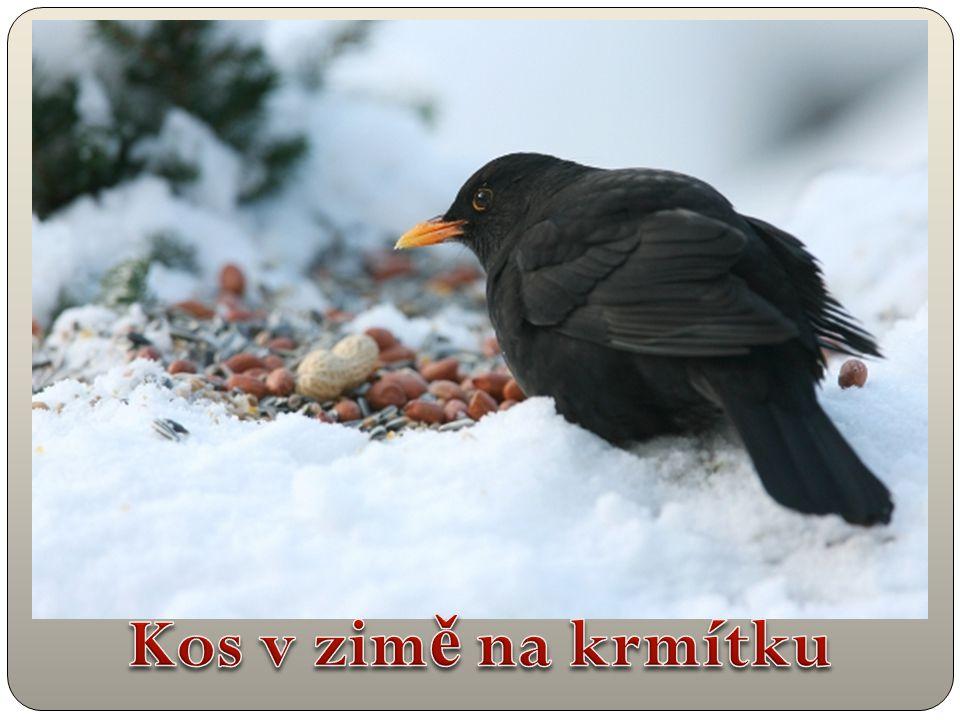 Kos v zimě na krmítku