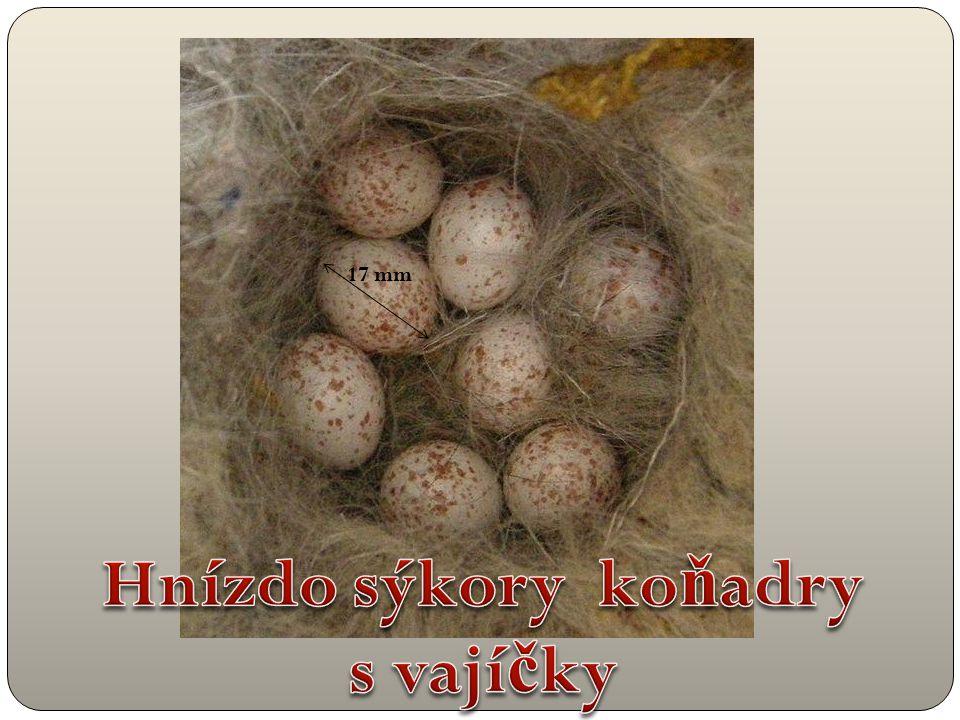 Hnízdo sýkory koňadry s vajíčky