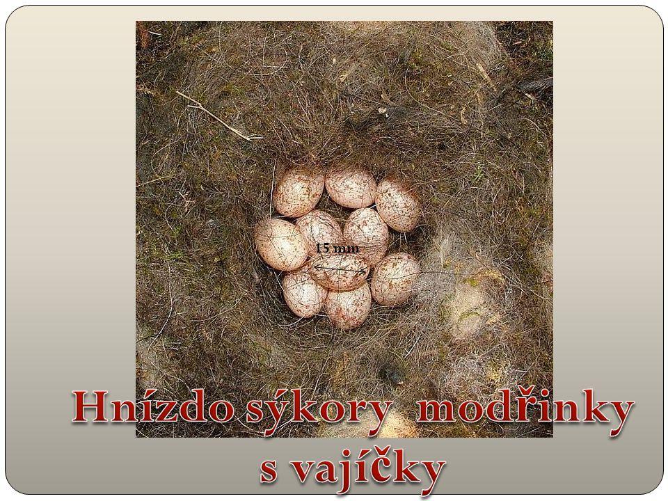 Hnízdo sýkory modřinky